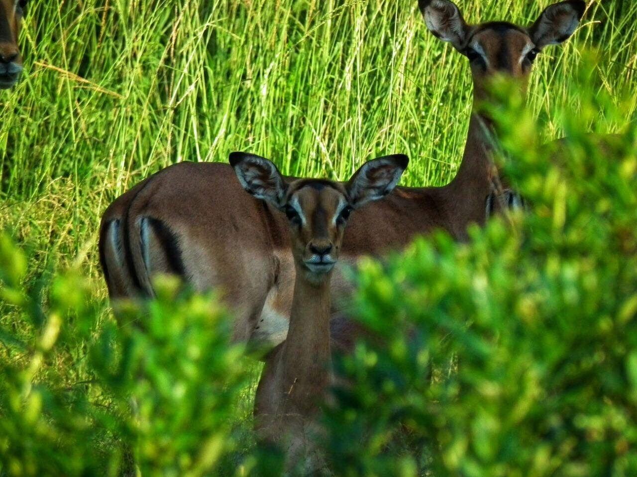 Impala Ewe and young
