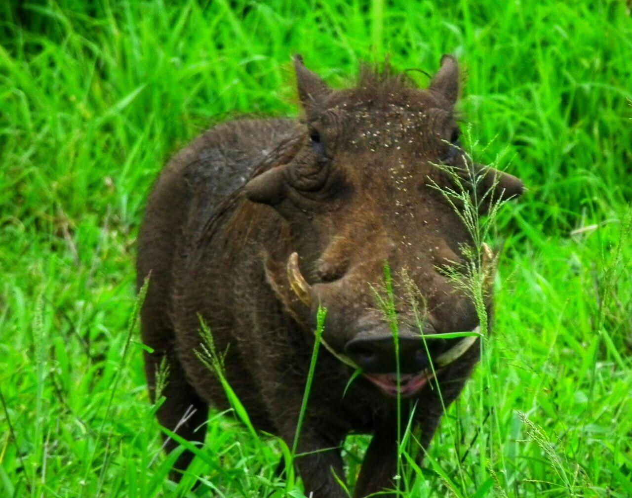 Warthog with pollen